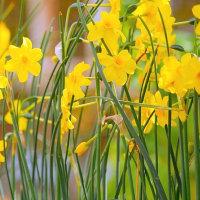 春の庭・・・黄色い糸スイセンで黄色に染まっています