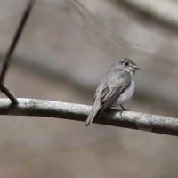 コサメビタキ, Brown flycatcher