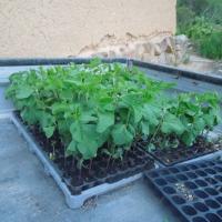 丹波黒大豆を定植しました