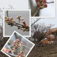 開山公園の桜は~ 2017.03.29