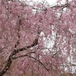 真鶴・荒井城址公園のしだれ桜