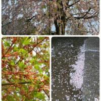 桜 さくら
