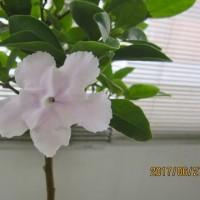 梅雨明けは未だ、至近の予報が頼り、蕃茉莉が白色に変化!