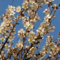 梅の花パワー