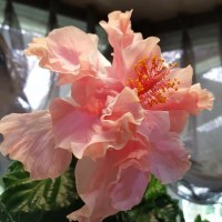 ゴマメラの花