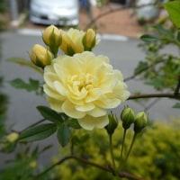黄モッコウバラ、1番花が咲きました。 (2017年4月19日撮影)