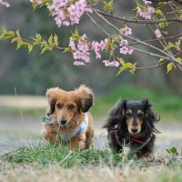 兵庫島公園の河津桜