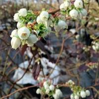 ブルーベリーの花満開