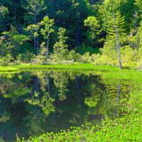 牛留池のミツガシワ