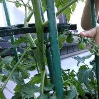 トマト、今年は何個収穫できるかな??