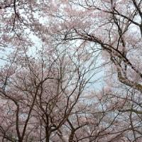 高遠城址、満開の桜雲に遊ぶ。