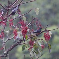 台湾の山で山桐子/イイギリの実を食べに来る野鳥いろいろ