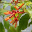 温室の花:ハメリア