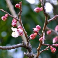 今年の梅開花2