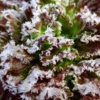 チシャの葉っぱに霜(霜模様)