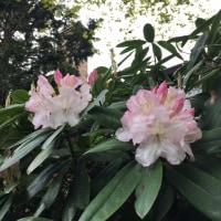 石南花が咲き始めました