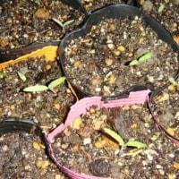 野菜の芽が出始めました