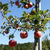 りんご園&シクラメン
