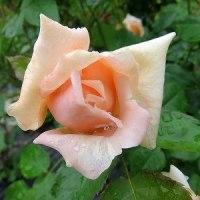 薔薇開花宣言