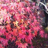 11月27日(日)のつぶやき 秋を感じないまま寒くなりよります。 紅葉 もみじ 季節 秋冬