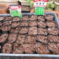 キヌサヤとグリーンピースの種を蒔きました