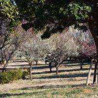 四季折々771  鑓水小山緑地の梅1