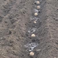 我が地域は里芋栽培の北限です!