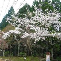 能勢妙見の森へエドヒガン桜、大島桜見に行く