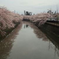 桜 🌸 花見 真間川