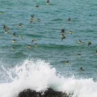 『アオバト』 海の色