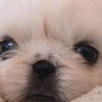 ペキニーズの子犬が生まれましてん。