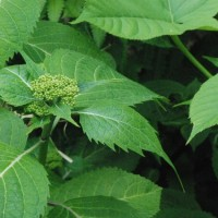 冬芽の観察118エゾアジサイ1