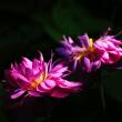 茶碗蓮 (花 4508)