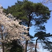 桜開花…でも