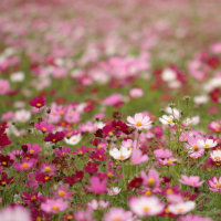 ゆらり、秋桜・・・・。