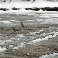 今日も雪!気温1℃~なかなか上がらない日でした。