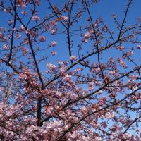 河 津 桜