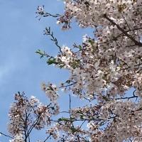 2017 桜🌸さく