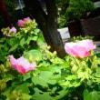 『季節の花』 芙蓉