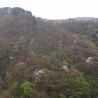 雨の大佐渡スカイラインの植物:向かいの山はヤマザクラが綺麗です。