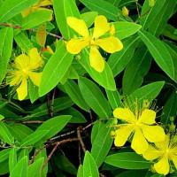 未央柳 (びょうやなぎ)という花