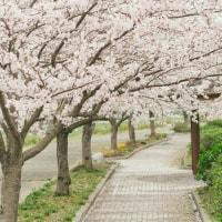 大阪の桜は…
