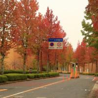 広島大学の楓