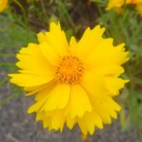 コスモスに似た花