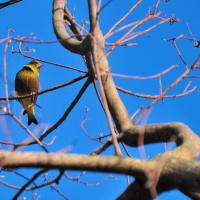 カワラヒワの群れが木の上で休息中です。    (Photo No.13996)