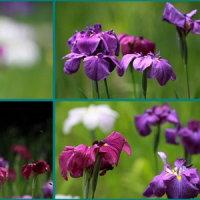 菖蒲の花を
