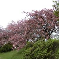 八重桜はまだまだ美しい!