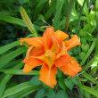 ヤブカンゾウの花