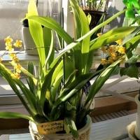 ランの花小鉢オンシジウム・トゥインクル咲く・・