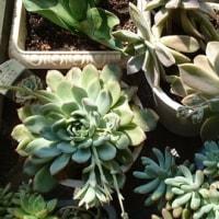 今日は快晴です。多肉植物も日光浴です(^O^)